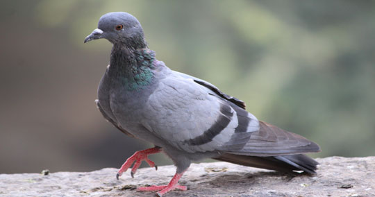 Pigeon Control & Removal | Wildlife Control and Animal Removal